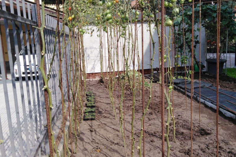 i consigli per l'orto: pomodori a settembre