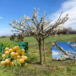nel frutteto…………Prunus SalicinaGoccia D'Oro