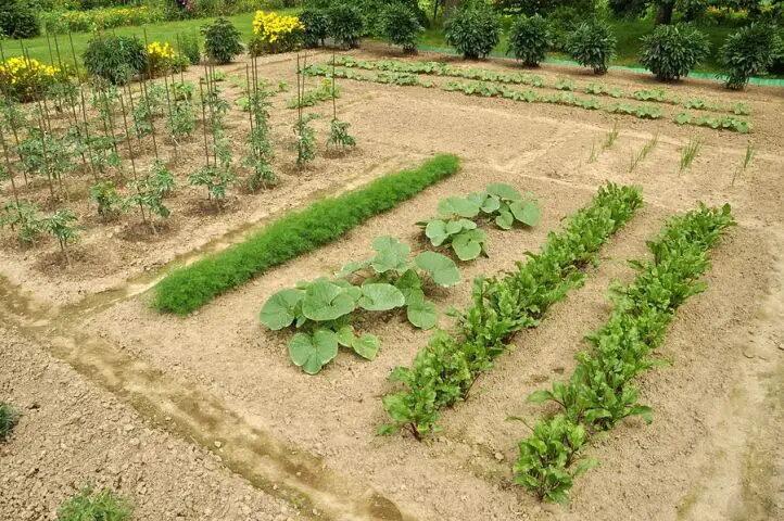 L'importanza delle giuste distanze di semina e trapianto
